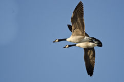 Two Canada Geese Flying in a Blue Sky Stock Image