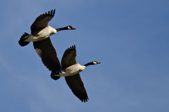 Two Canada Geese Flying in a Blue Sky Stock Photography