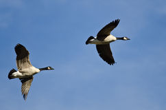 Two Canada Geese Flying in a Blue Sky Royalty Free Stock Photos