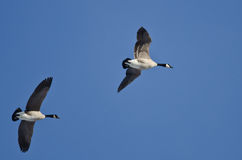Two Canada Geese Flying in a Blue Sky Stock Photo