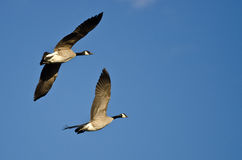 Two Canada Geese Flying in a Blue Sky Stock Images