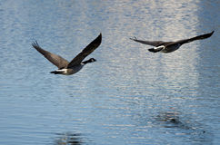 Two Canada Geese Flying Over the Lake Stock Images