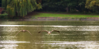 Two Canada Geese Flying Over Lake Royalty Free Stock Photography