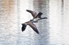 Two Canada Geese Flying Over Water Stock Image