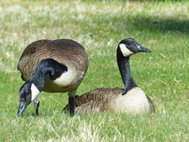 Two Canada Geese Stock Image