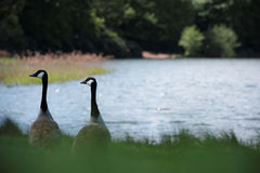Two canada Geese by a Lake Stock Photo