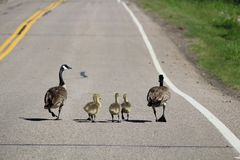 Two Canada Geese lead their larger goslings down a road.  stock images