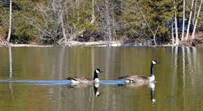 Two Canada Geese paddling upstream royalty free stock photography
