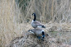 Two Canada Geese on reed pile royalty free stock image