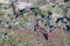 Two Canada Geese Seen From Above Royalty Free Stock Photos