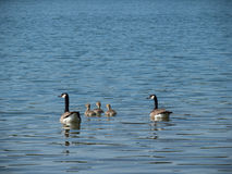 Two canada geese swimming with three goslings on a lake stock images