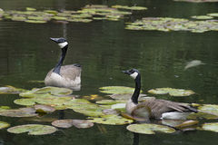 Two Canada Geese swimming with water lilies. Royalty Free Stock Image