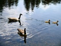 Two Canada geese with two goslings on water Stock Image