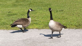 Two Canada Geese Walking in the Park Royalty Free Stock Image