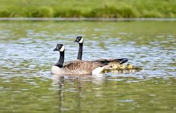 Canada Goose Family Swimming in Pond. Two Canada goose parents swim protectively with their baby goslings Stock Images
