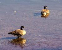 Two canada goose on the water. Photo taken in the fall of 2017 in a river at Quebec, Canada.These are two beautiful Canada geese royalty free stock photo