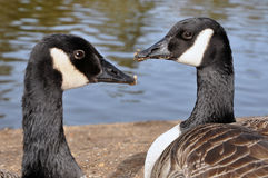 Free Two Canadian Branta Gooses Stock Photography - 19124142