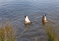 Two Canadian geese, bottoms up in the lake. Stock Photos