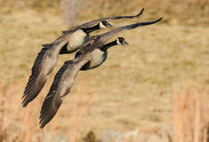 Two Canadian Geese In Flight Royalty Free Stock Photo