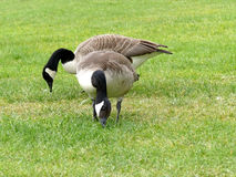Two canadian geese grazing Royalty Free Stock Photo