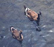 Two Canadian geese on a lake. In the summer Royalty Free Stock Images