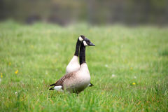 Two Canadian geese Royalty Free Stock Images