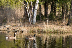 Two Canadian Geese on a Pond Stock Image
