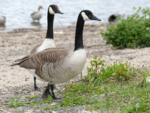 Two canadian geese Royalty Free Stock Photography