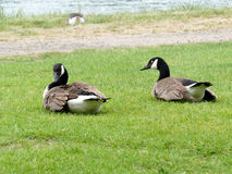 Two canadian geese sitting in the grass. Stock Photo