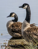Two Canadian geese Royalty Free Stock Photo