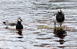 Pair of Canadian geese Stock Photography