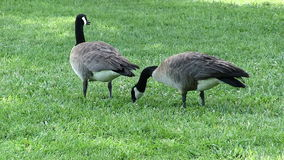 Two Canadian Geese Standing On Green Lawn Eating. Two Canadian Geese On Green Grass Standing Looking Eating stock footage