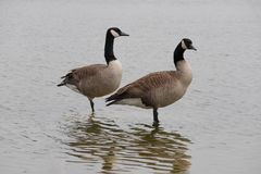 A Nice Pair of Canadian Geese in Water royalty free stock photos