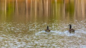Two Canadian Geese swimming on the pond surrounded by beautiful. Two geese on a pond surrounded by the reflection of fall colors Royalty Free Stock Photography