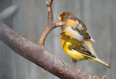 Two canaries Stock Photography