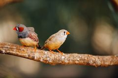 Two canary birds on a branch. Closeup view Stock Photo