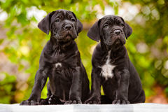 Two cane corso puppies Royalty Free Stock Image