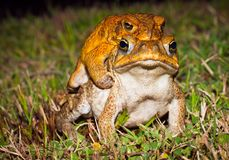 Two cane toads (Bufo marinus) mating Royalty Free Stock Images