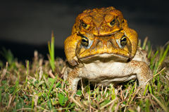 Two cane toads (Bufo marinus) mating. In the grass Stock Image