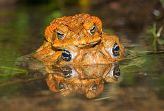 Two cane toads (Bufo marinus) mating Stock Image