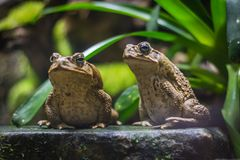 Two cane toads giant neotropical toads. Standing in aquarium in Berlin Germany royalty free stock photo