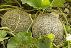 Two cantaloupes Stock Photography