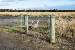 Two Cape barren goose in the last sun in Nobbies, Phillip Island, Victoria, Australia. Two Cape barren goose in the last sun in grassland in Nobbies, Phillip Royalty Free Stock Photo