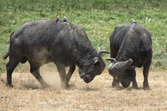 Two cape buffalo butting heads with small birds on their backs Stock Photos