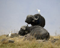 Two Cape Buffalo with Cattle Egret birds Stock Photography