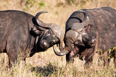 Two cape buffalo figting in long grass Stock Photography