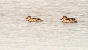Two Cape Teal Royalty Free Stock Images