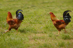 Two Capon Stock Image