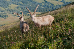 Two Capricorns Royalty Free Stock Photography