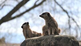Two captive curious meerkats Suricata suricatta located in a zoo with a blurred tree in background